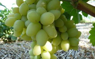 Виноград «Продюсер», описание сорта с фото и видео