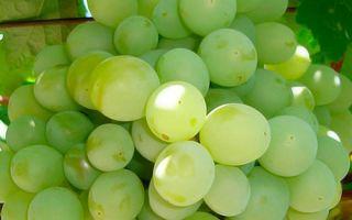 Виноград «Талисман», описание сорта с фото