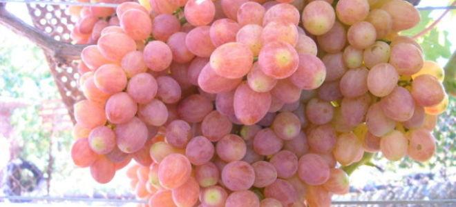 Сорт винограда «Кишмиш Премьер» с фото и видео