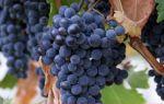 Описание сорта винограда «Саперави»