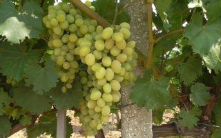 Сорт винограда «Августин» описание с фото и видео