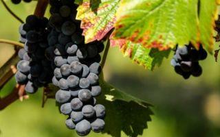 Сорт винограда «Черный изумруд» описание и фото