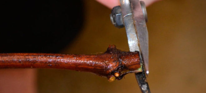Можно ли укоренить черенки винограда осенью? Как и когда правильно посадить, подготовить черенки