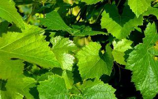 Заготавливаем виноградные листья на зиму. Лучшие рецепты.