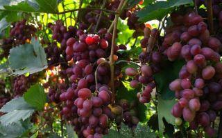 Сорт винограда «Виктория» описание и фото