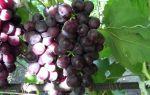Виноград сорта «Рошфор», описание с фото и видео