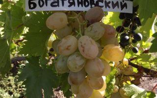 Сорт винограда «Богатяновский», описание, фото и видео