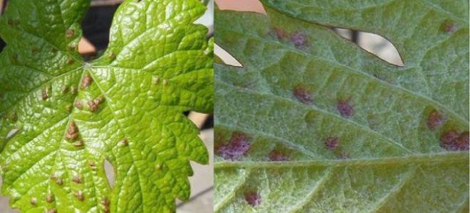 Как бороться с клещом на винограде: виды вредителя, признаки поражения, обзор препаратов
