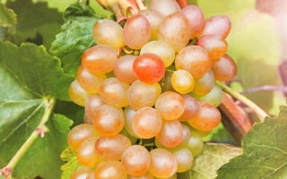 Виноград «Шарада» — описание сорта с фото и видео