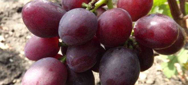 Описание с фото и видео сорта винограда «Эверест»