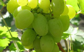 Виноград «Белый великан», описание сорта с фото и видео