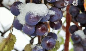 Неукрывные сорта винограда для подмосковья. Описание, особенности