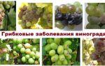 Гнили винограда: основные виды, методы лечения