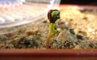Выращивание виноградной лозы из косточки