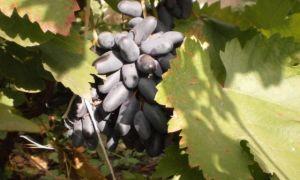 Виноград «Черный палец», описание сорта и фото