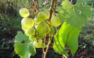 Виноград «Ананасный», описание сорта и фото