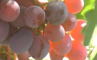 Сорт винограда «Дашенька», описание с фото и видео