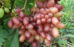 Сорт винограда «Сенсация», описание с фото и видео