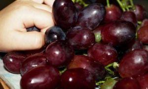 Виноград «Шоколадный», описание и фото