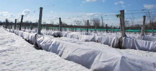 Подробное описание как укрыть виноград на зиму
