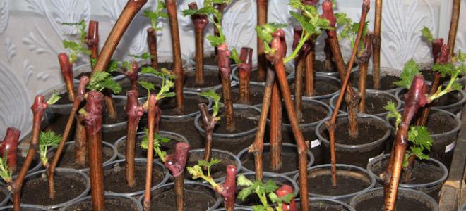 Способы размножения винограда черенками