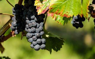 Полезные свойства винограда Изабелла