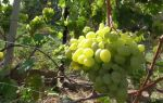 Сорт винограда «Подарок Запорожью», описание, фото и видео