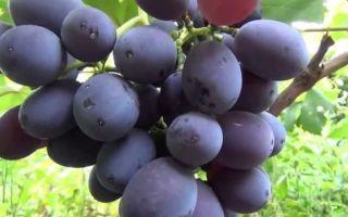 Сорт винограда «Фуршетный» описание с фото и видео