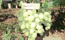 Виноград «Madonna», описание сорта с фото и видео