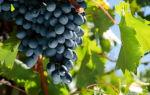 Сорт винограда «Молдова», описание с фото и видео