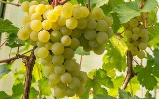 Сорт винограда «Фрумоаса Албэ» с фото и видео