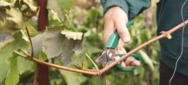 Как правильно выбрать ,нарезать и хранить черенки винограда до весны