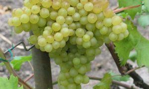 Описание сорта винограда «Бессемянный гибрид VI-4» с фото и видео
