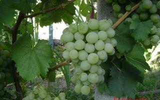 Сорт винограда «Белое чудо», описание и фото