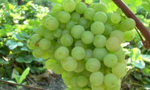 Виноград «Супага», описание сорта и фото