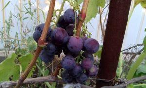 Сорт винограда «Раджа», описание и фото