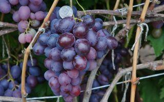 Виноград «Низина2» описание сорта с фото и видео