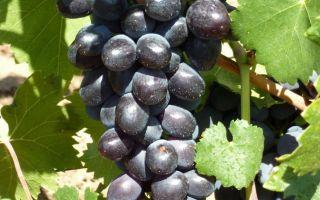 Виноград «Забава», описание сорта и фото
