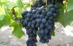 Сорт винограда «Кодрянка», описание с фото и видео, таблица характеристик