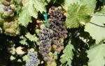 Черная гниль винограда: симптомы, профилактика, лечение