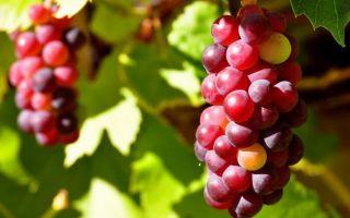 Польза красного и розового винограда