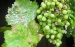 Оидиум или мучнистая роса винограда.