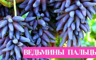 Виноград «Ведьмины пальцы». Описание сорта с фото
