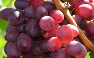 Сорт винограда «Памяти учителя» описание с фото и видео