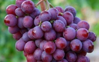 Описание сорта винограда «Спринтер» с фото и видео