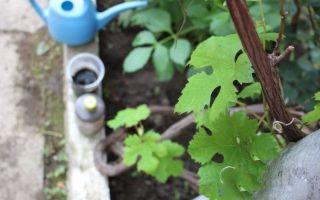 Подкормка винограда: правила богатого урожая