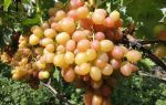 Сорт винограда «Хамелеон» описание, фото и видео