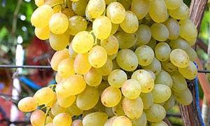 Описание сорта винограда «Кишмиш ЛоРус» с фото и видео