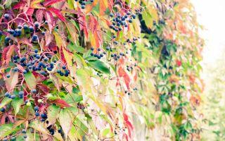 Домашнее вино из дикого винограда.