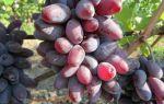 Виноград сорта «Байконур», его описание с фото и видео